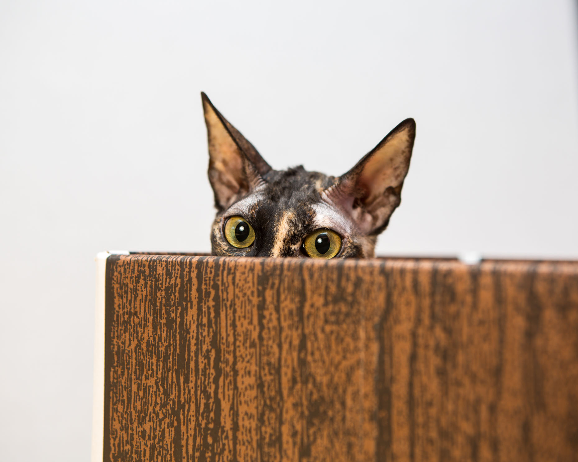 Pet Photography | Cornish Rex Cat in Box by Mark Rogers