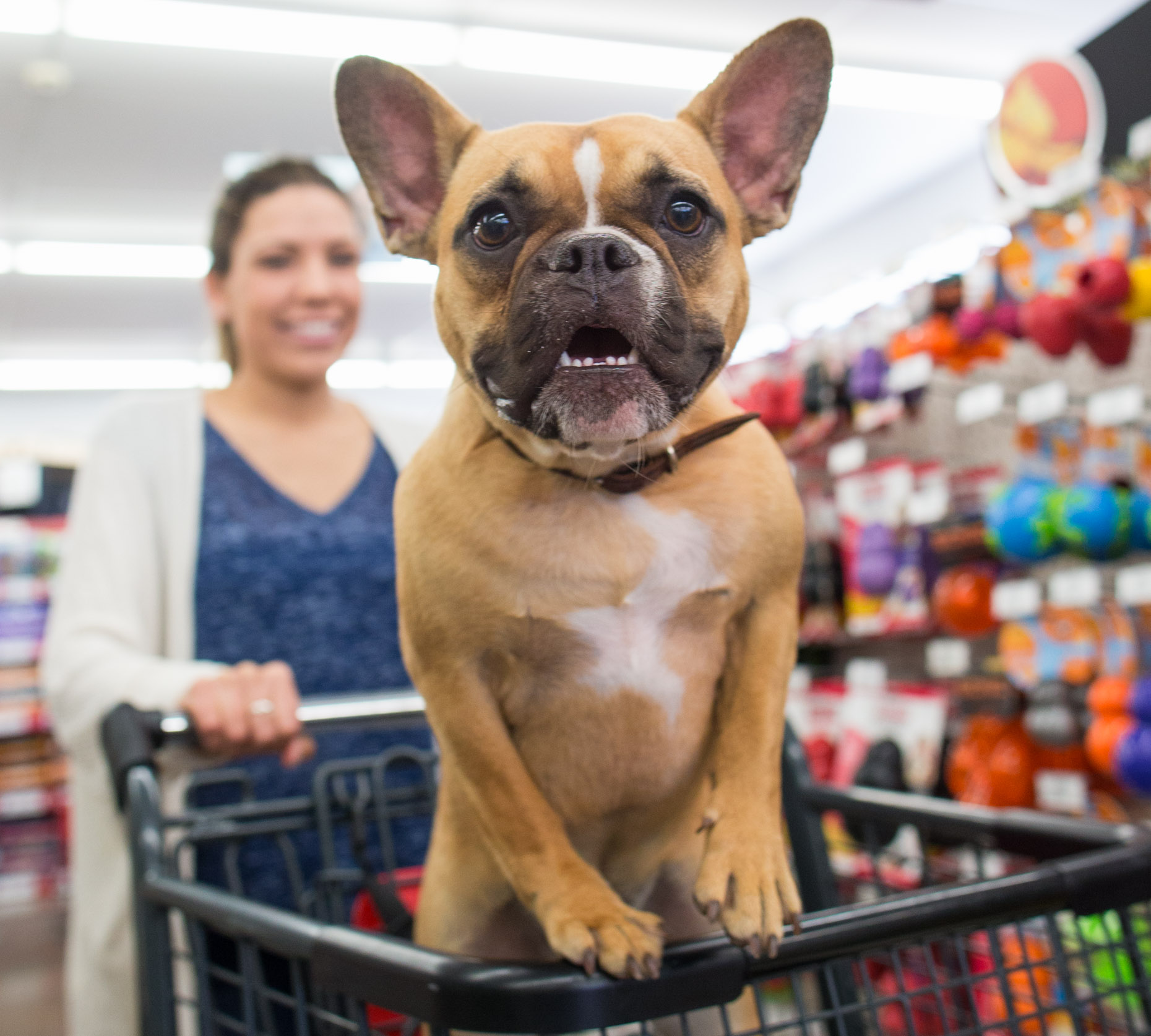 French-bulldog-smiling-in-shopping-cart