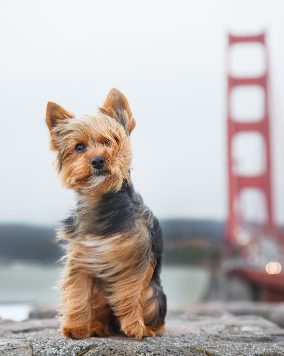 A Yorkie Terrier Sitting in Front of the Golden Gate Bridge on a Windy Day