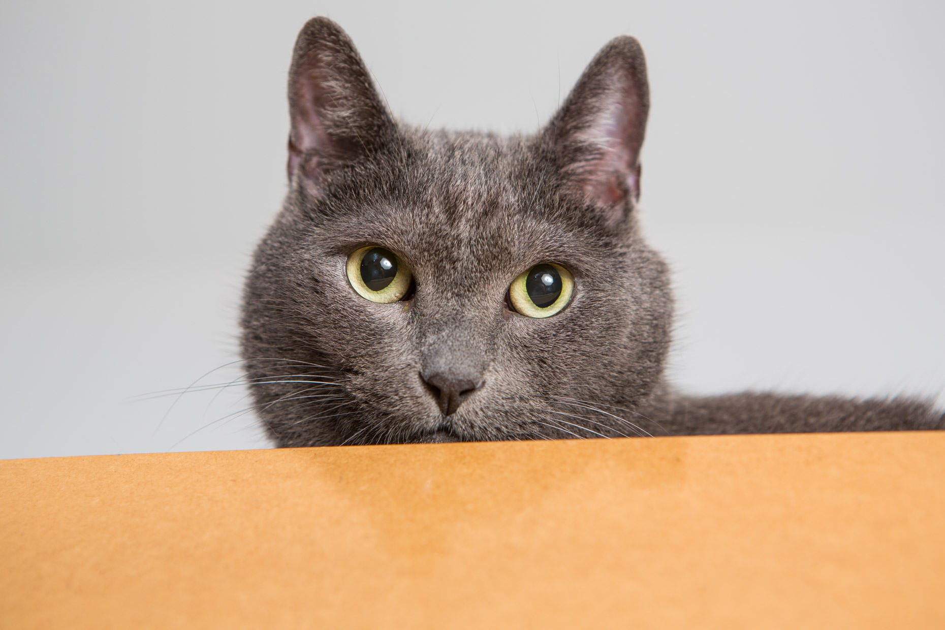 Studio Cat Photography | Grey Cat Yellow Eyes by Mark Rogers