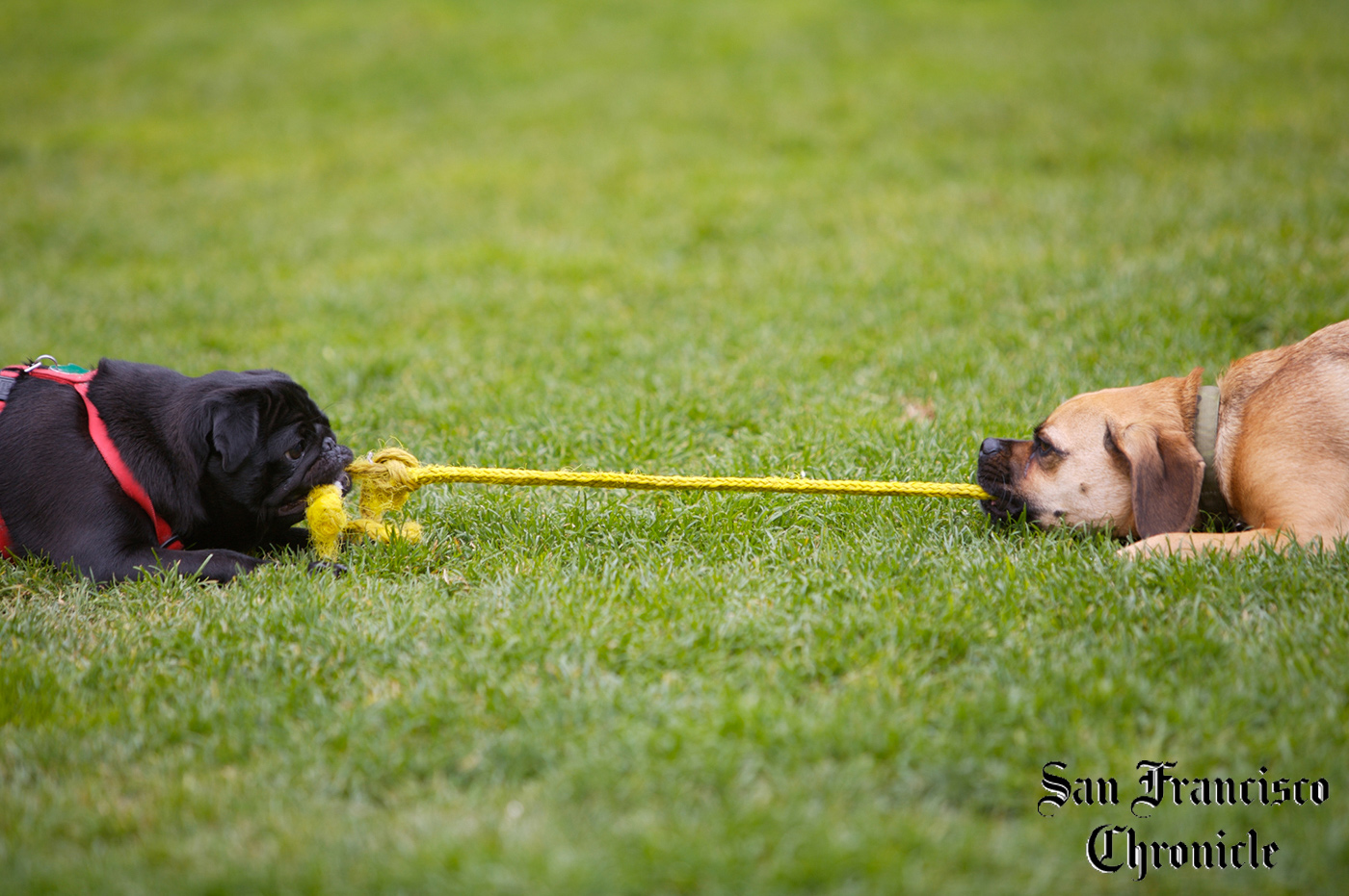 Editorial Photography | Dog Tug of war for San Francisco Chronicle  by Mark Rogers