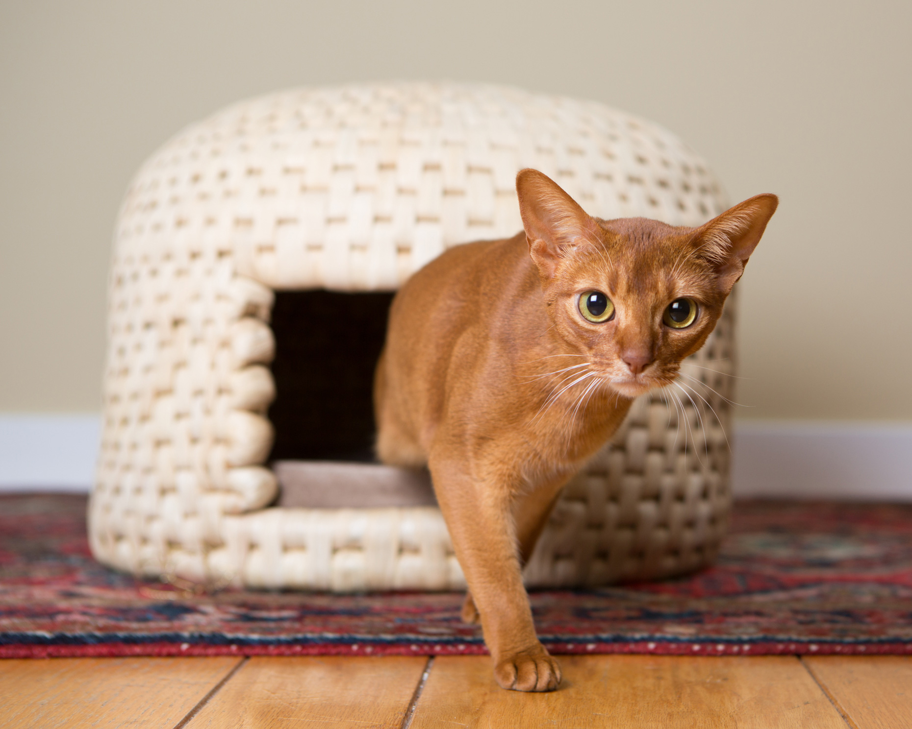 Pet Lifestyle Photography | Cat Walking From Stylish Habitat by Mark Rogers