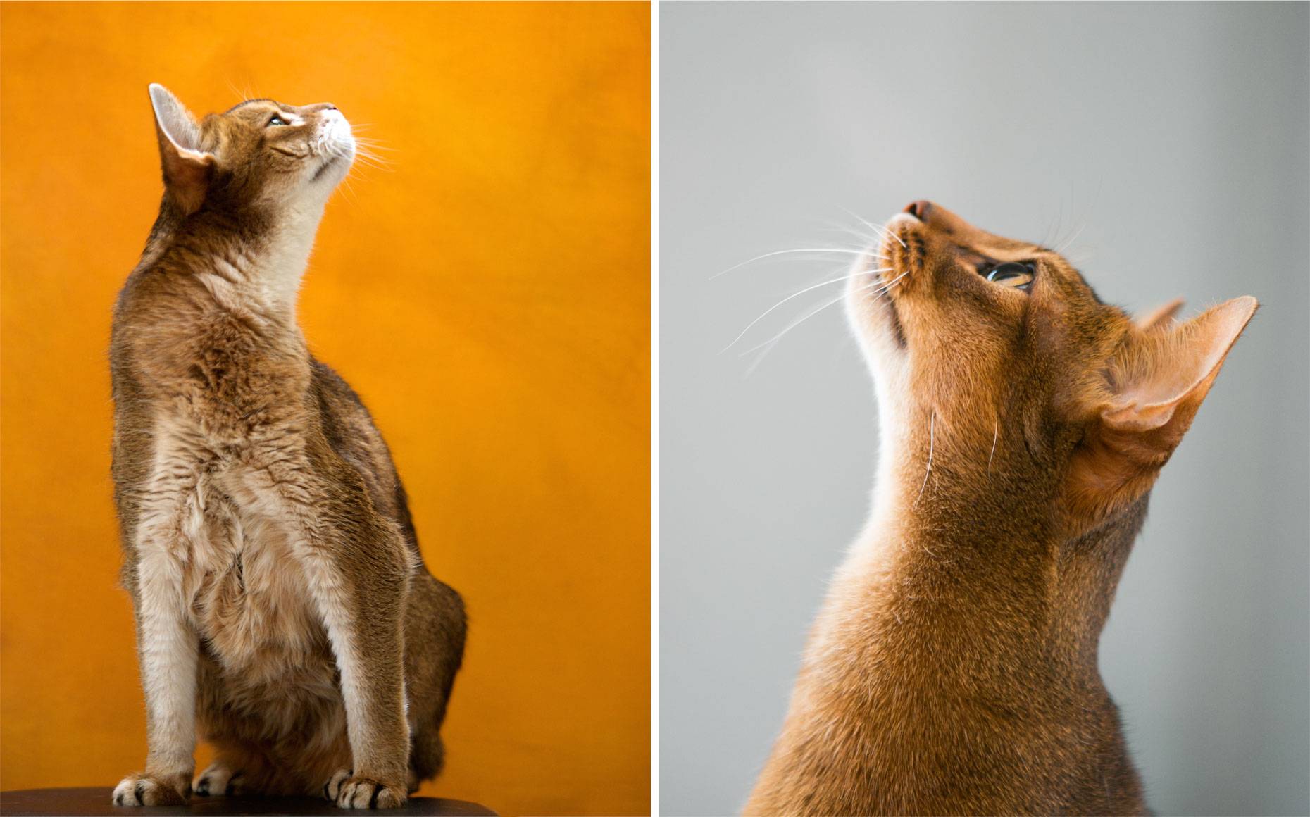 Cat Photography | Abyssinian Cat Profiles by Mark Rogers