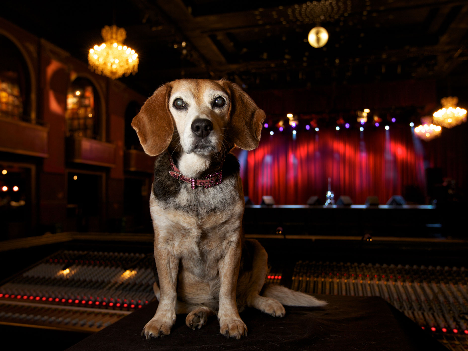 Pet Photography  |  Beagle Dog at Music Venue by Mark Rogers