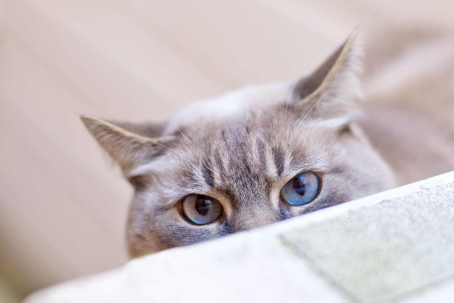 Pet Photography | Blue Eyed Cat Hiding by Mark Rogers