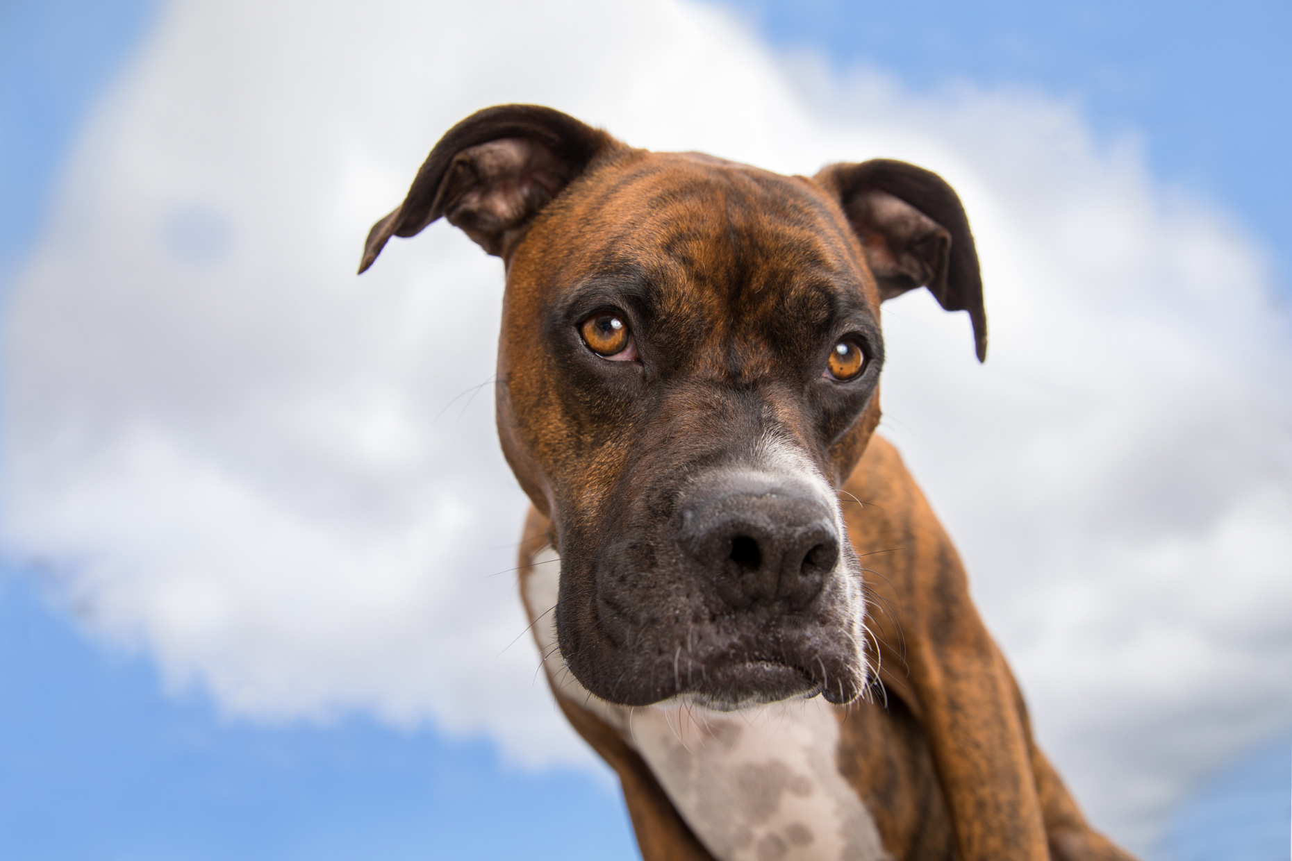 Dog Photography | Boxer Looking Down From Sky by Mark Rogers