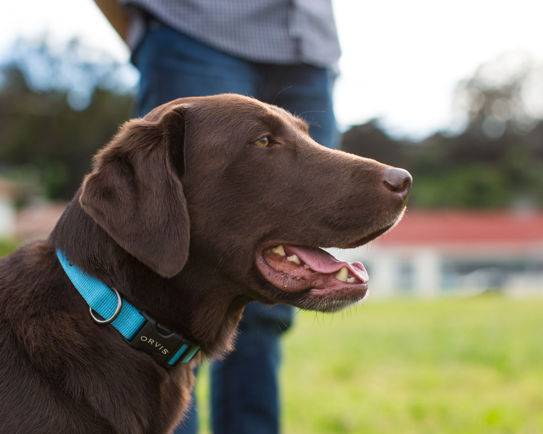 Lifestyle Photography | Chocolate Labrador by Mark Rogers