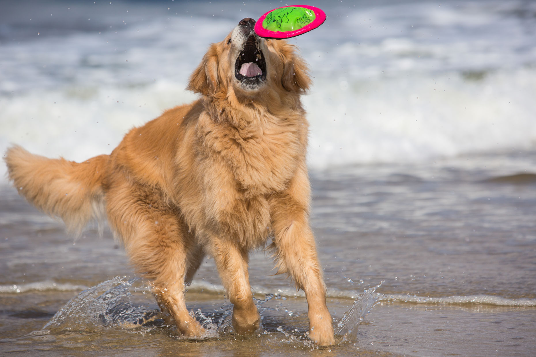 Dog Photography | Dog Catching Frisbee by Mark Rogers