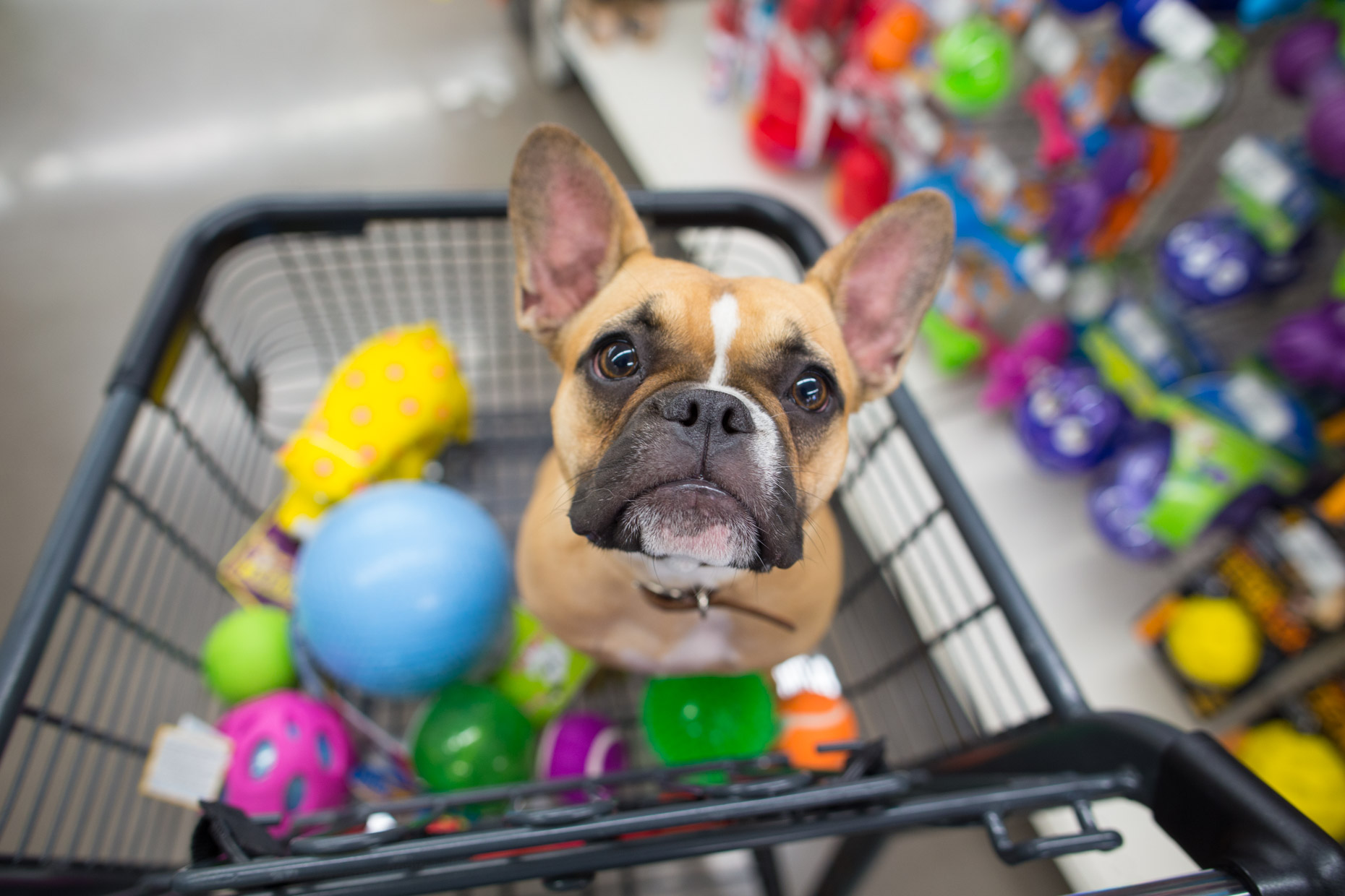 dog-in-shopping-cart-with-toys