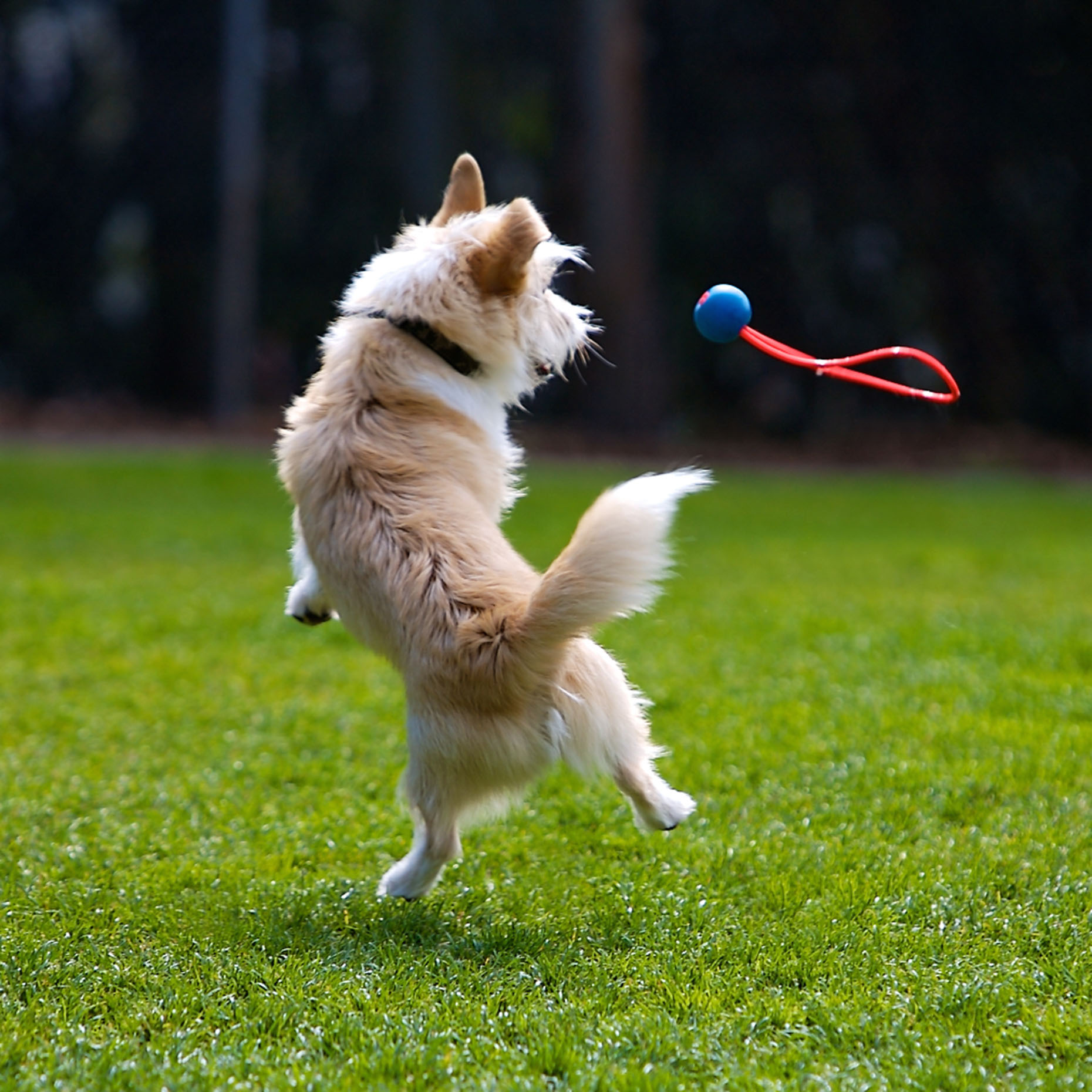 Dog Photography | Dog Jumping for Toy by Mark Rogers