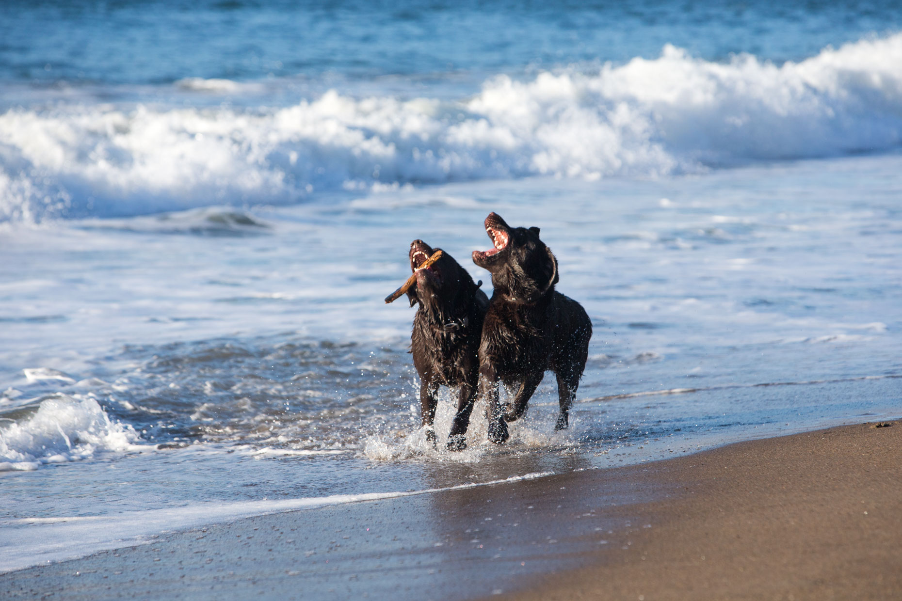 Dog Photography | Two Dogs Running on Beach