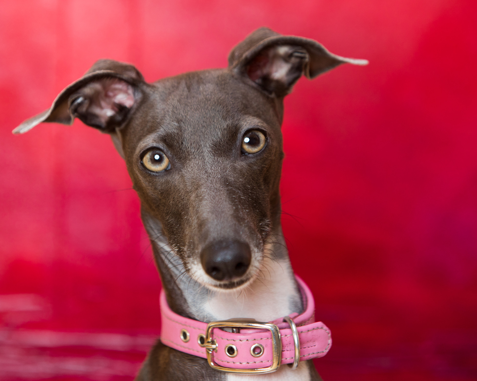Dog Studio Photography | Greyhound Portrait on Red by Mark Rogers