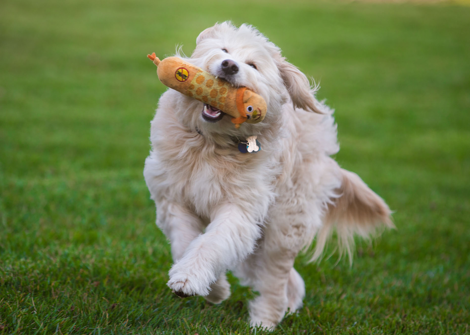 Pet Photography | Dog Running with Toy by Mark Rogers