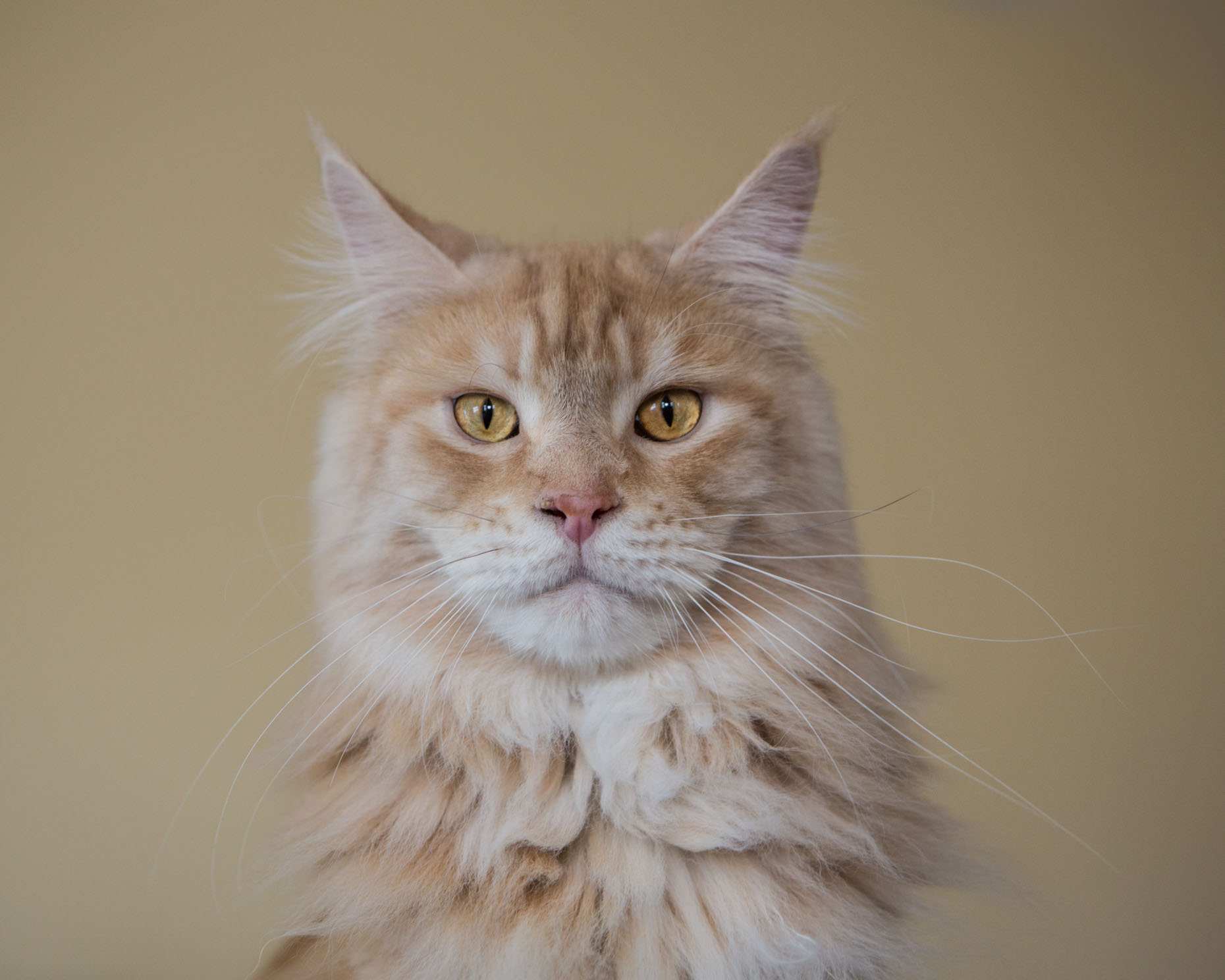 Cat and Pet Photography | Dignified  Cat by Mark Rogers