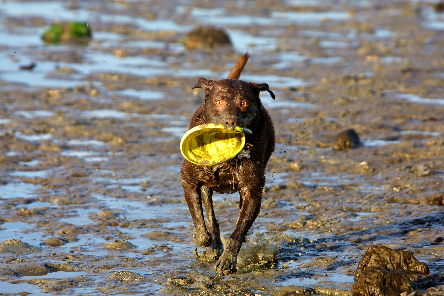 Dog Photography | Wet Dog with Frisbee by Mark Rogers