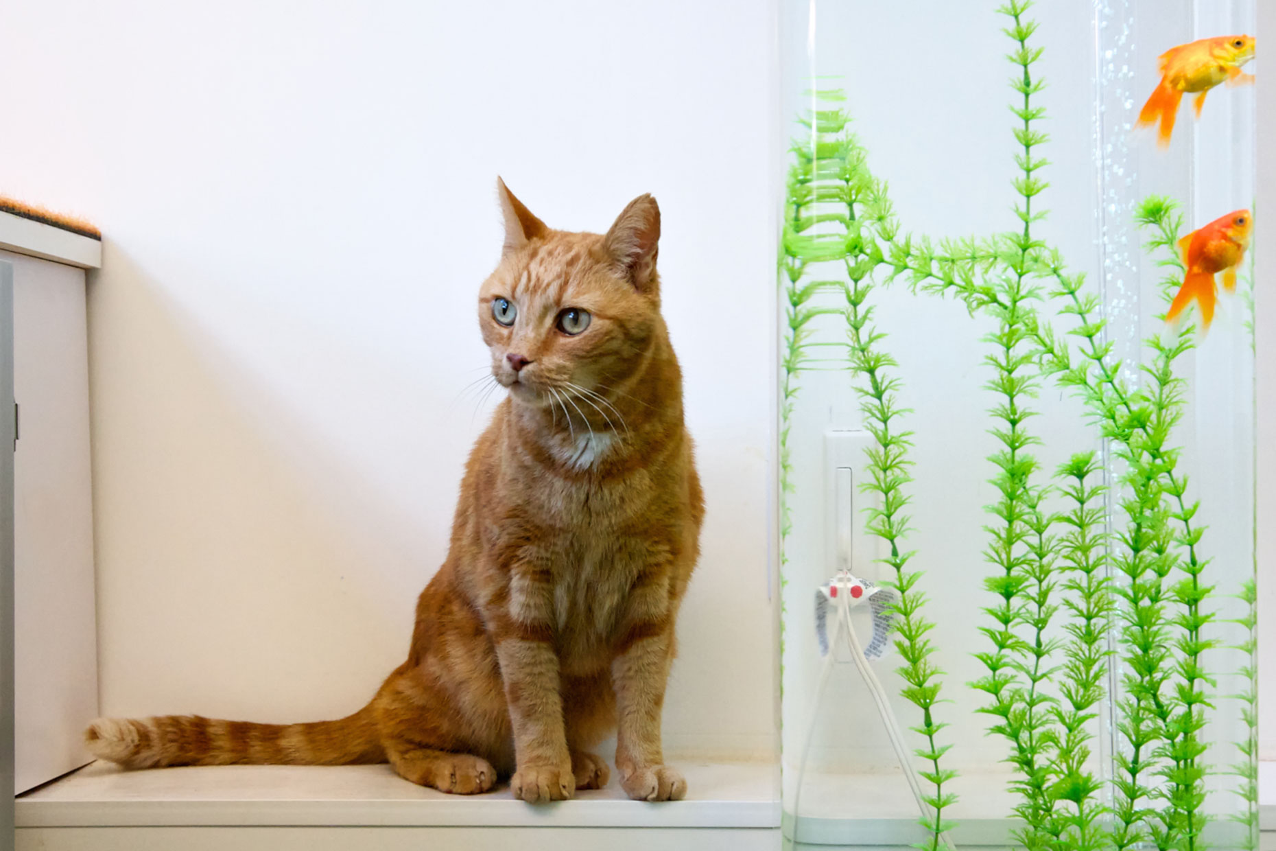 Cat and Pet Photography | Orange Cat at Goldfish Bowl by Mark Rogers