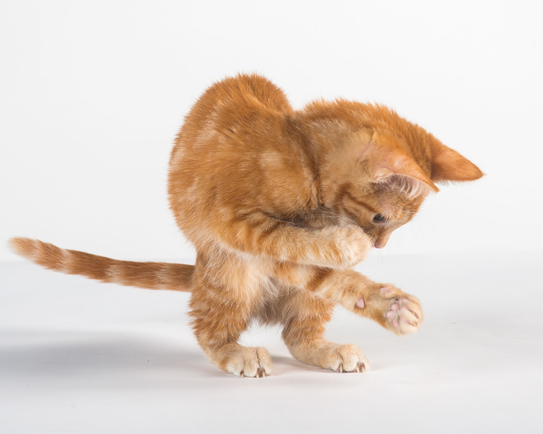 Commercial Pet Photography | Orange Kitten Playing by Mark Rogers