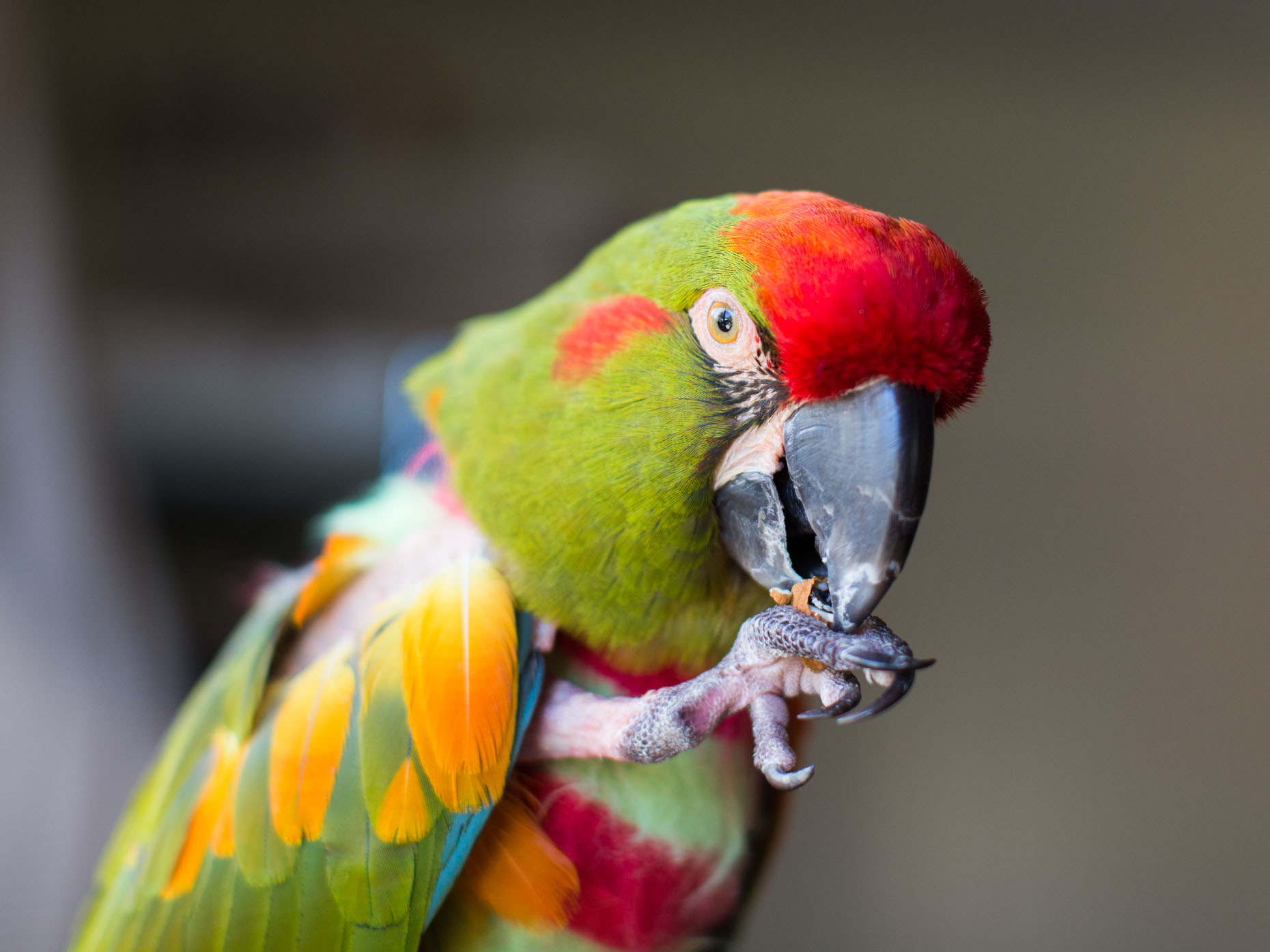 Commercial Animal Photography | Parrot Eating by Mark Rogers