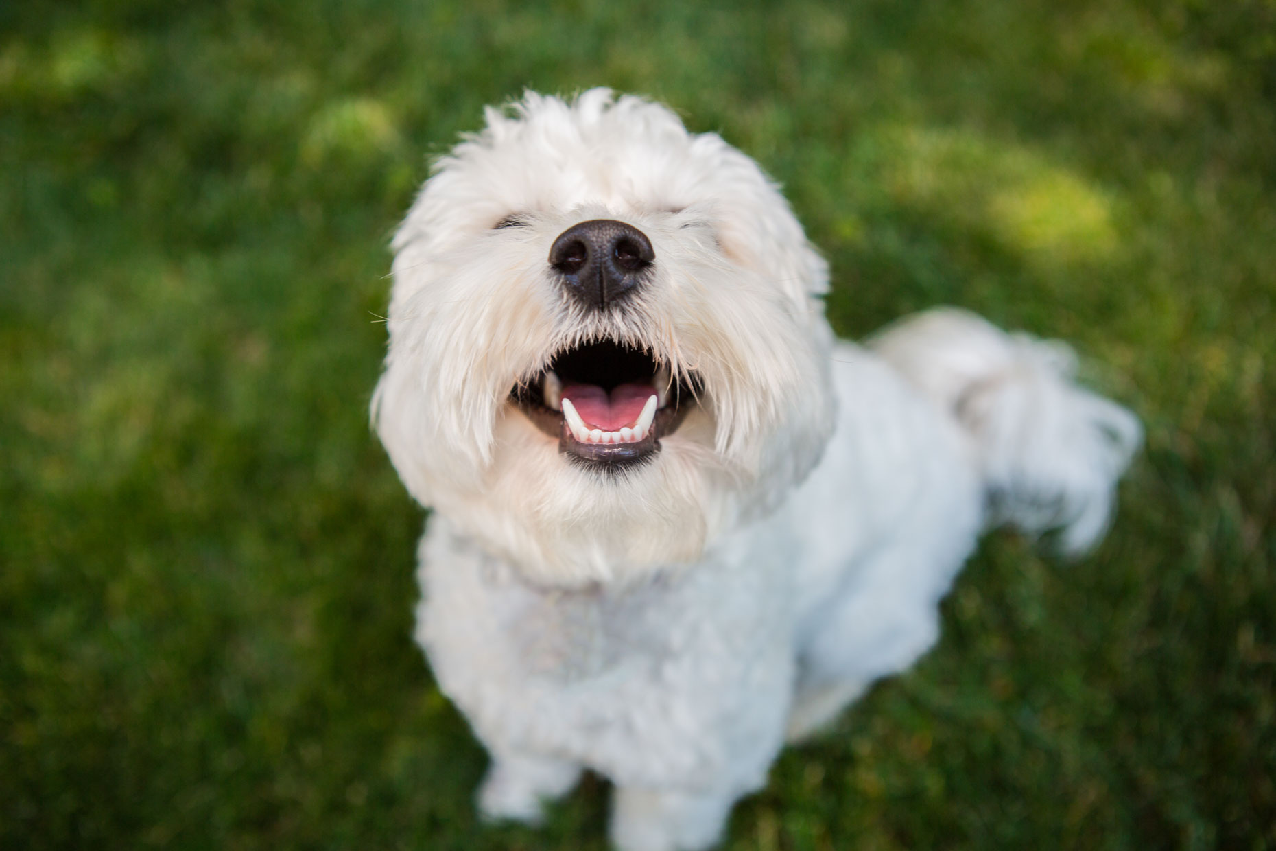 Dog and Pet Photography  |  Smiling White Dog by Mark Rogers