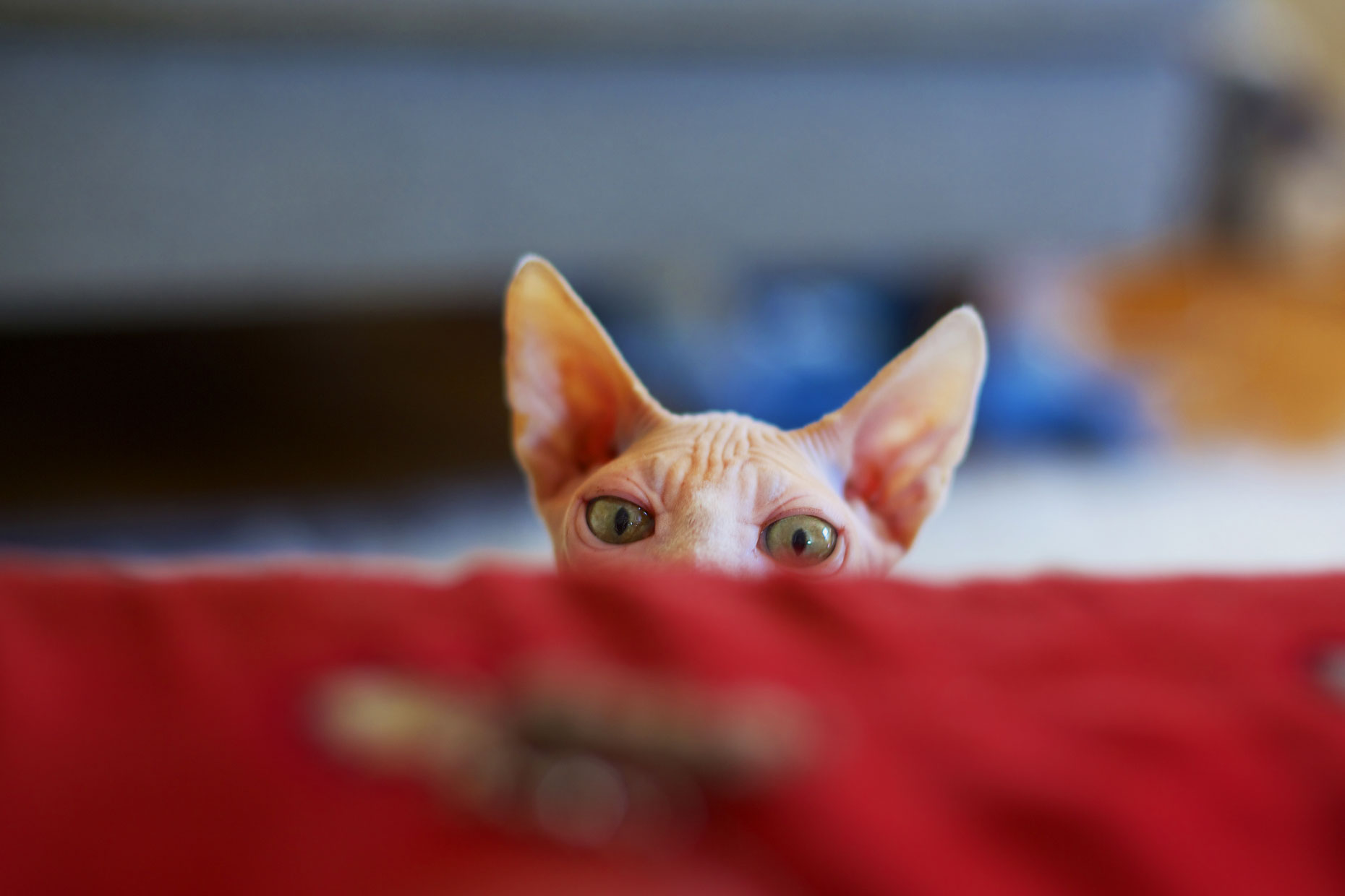 Cat Photography | Sphinx Cat Peeking by Mark Rogers