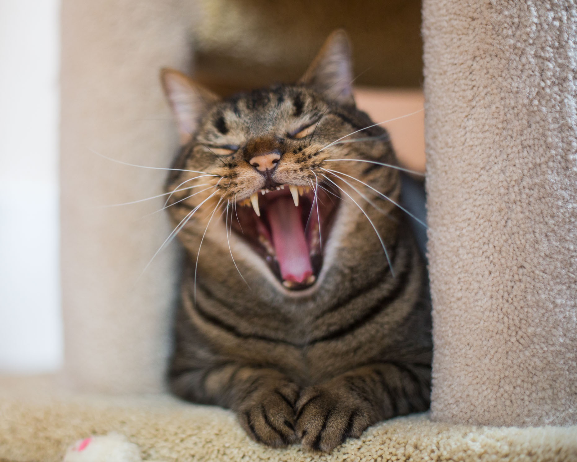 Cat and Pet Photography | Tabby Cat Yawning by Mark Rogers