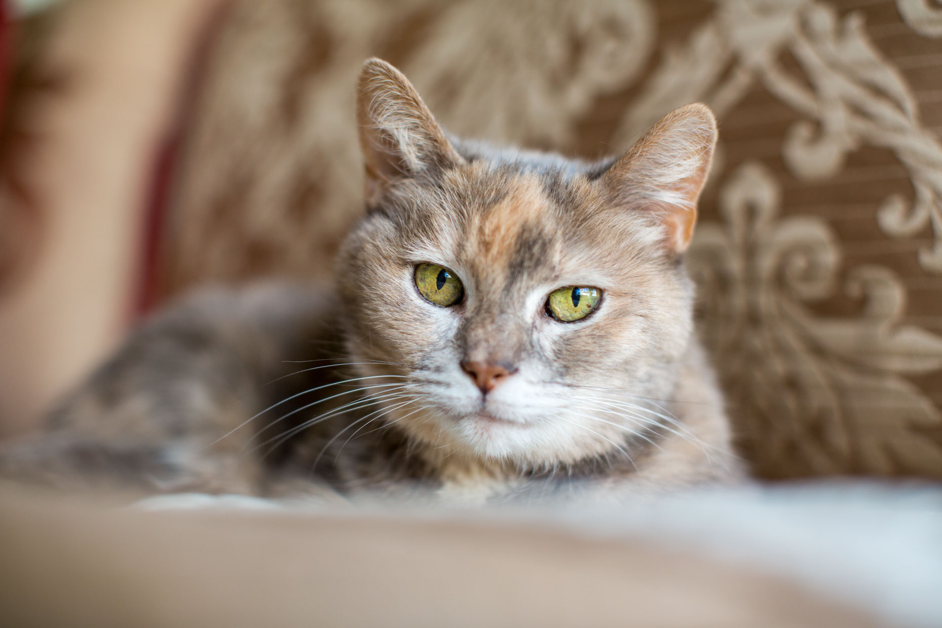 Cat Photography | Tortoiseshell Cat with Yellow Eyes by Mark Rogers