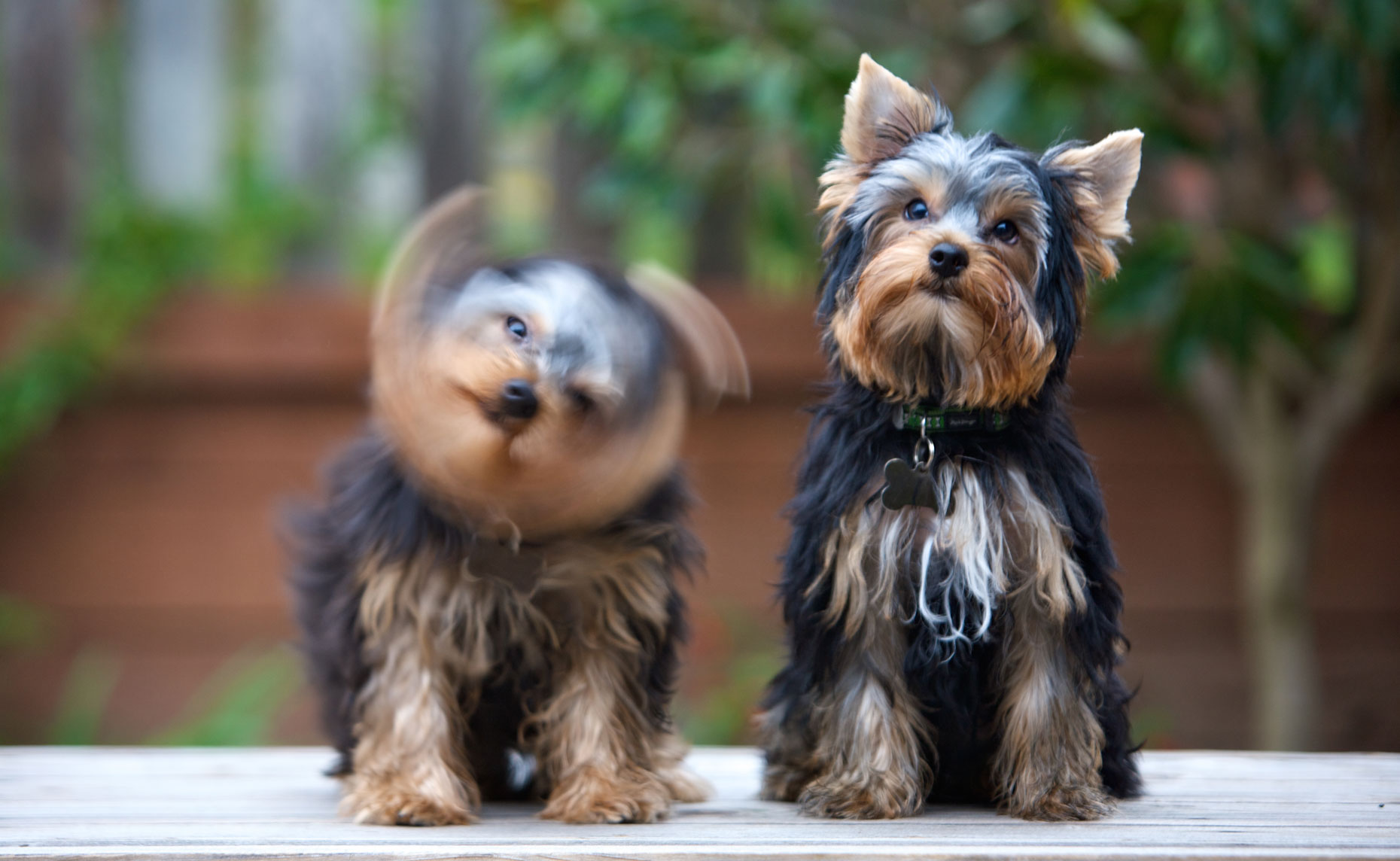 Dog and Pet Photography  |  Two Yorkie Dogs by Mark Rogers
