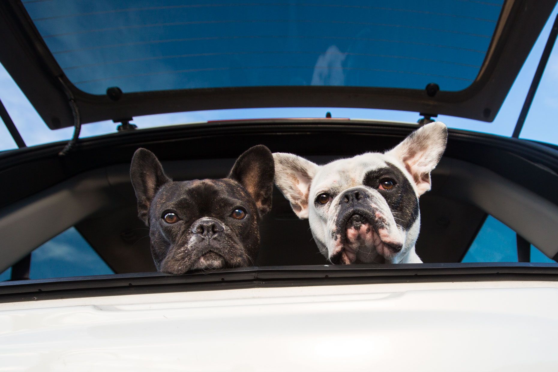 Commercial Dog Photography |  Two French Bulldogs in Car by Mark Rogers