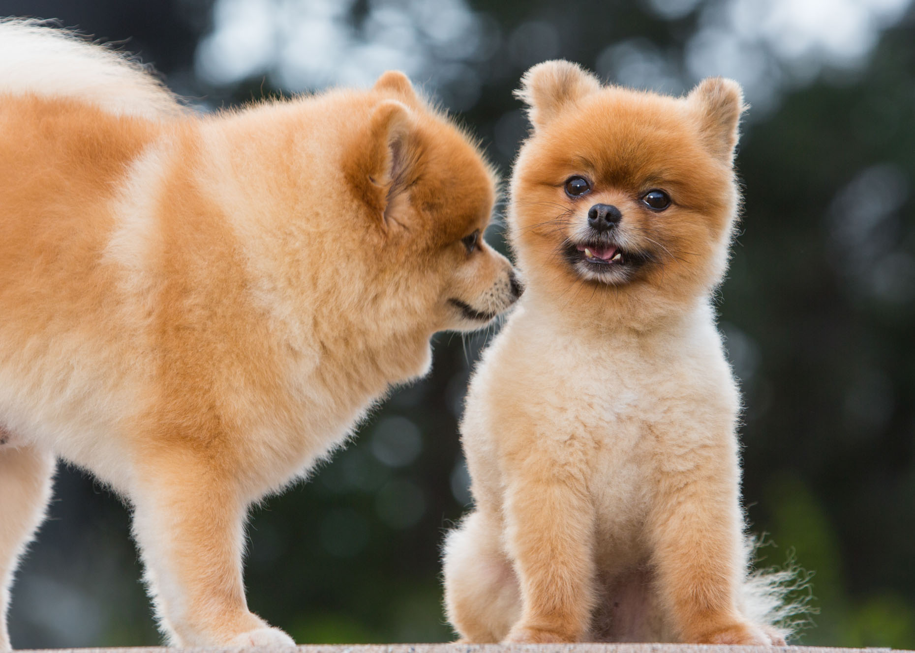 Dog and Pet Photography  |  Two Pomeranian Dogs by Mark Rogers