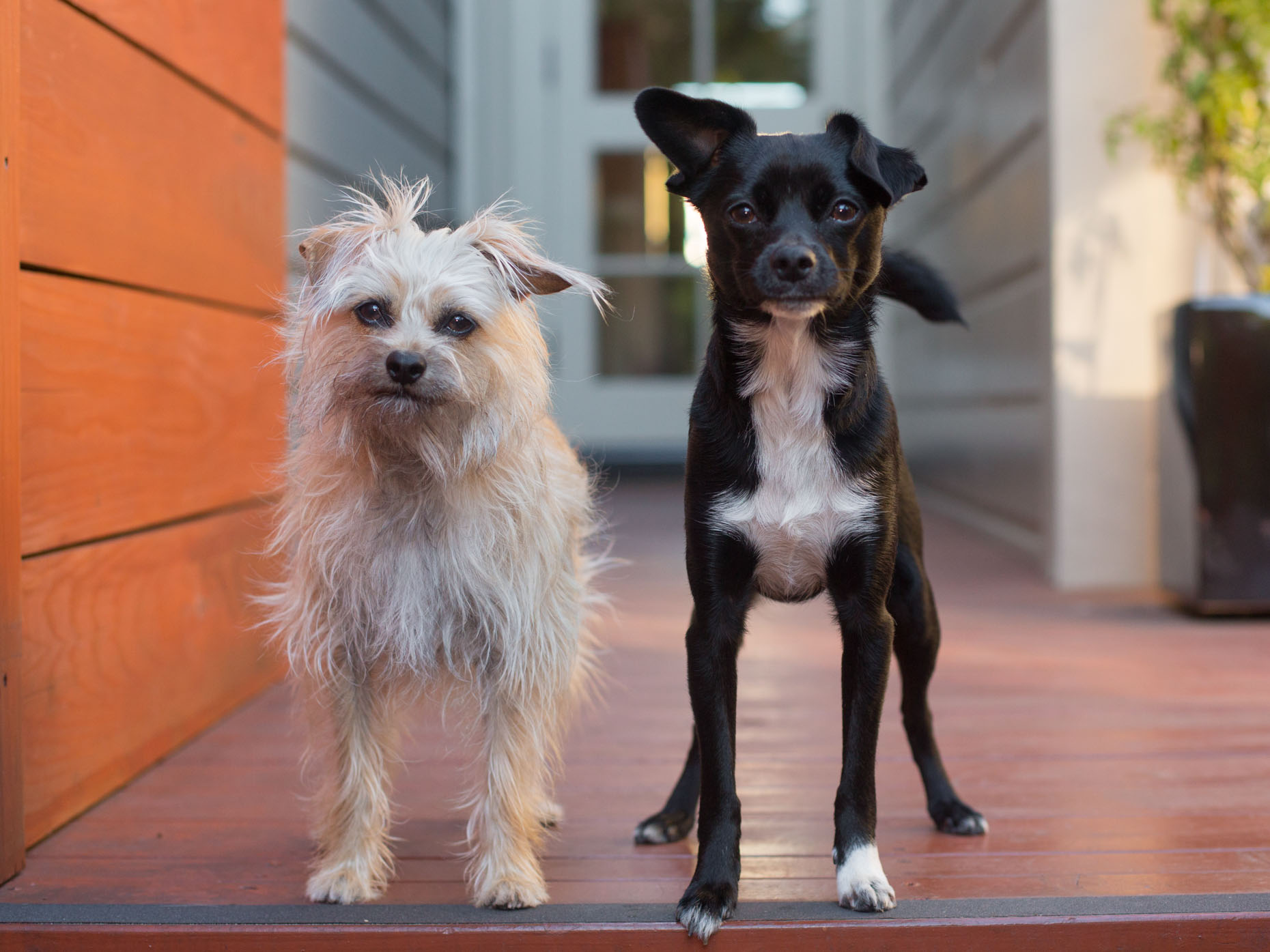 Pet Photography  |  Two Mutt Dogs by Mark Rogers