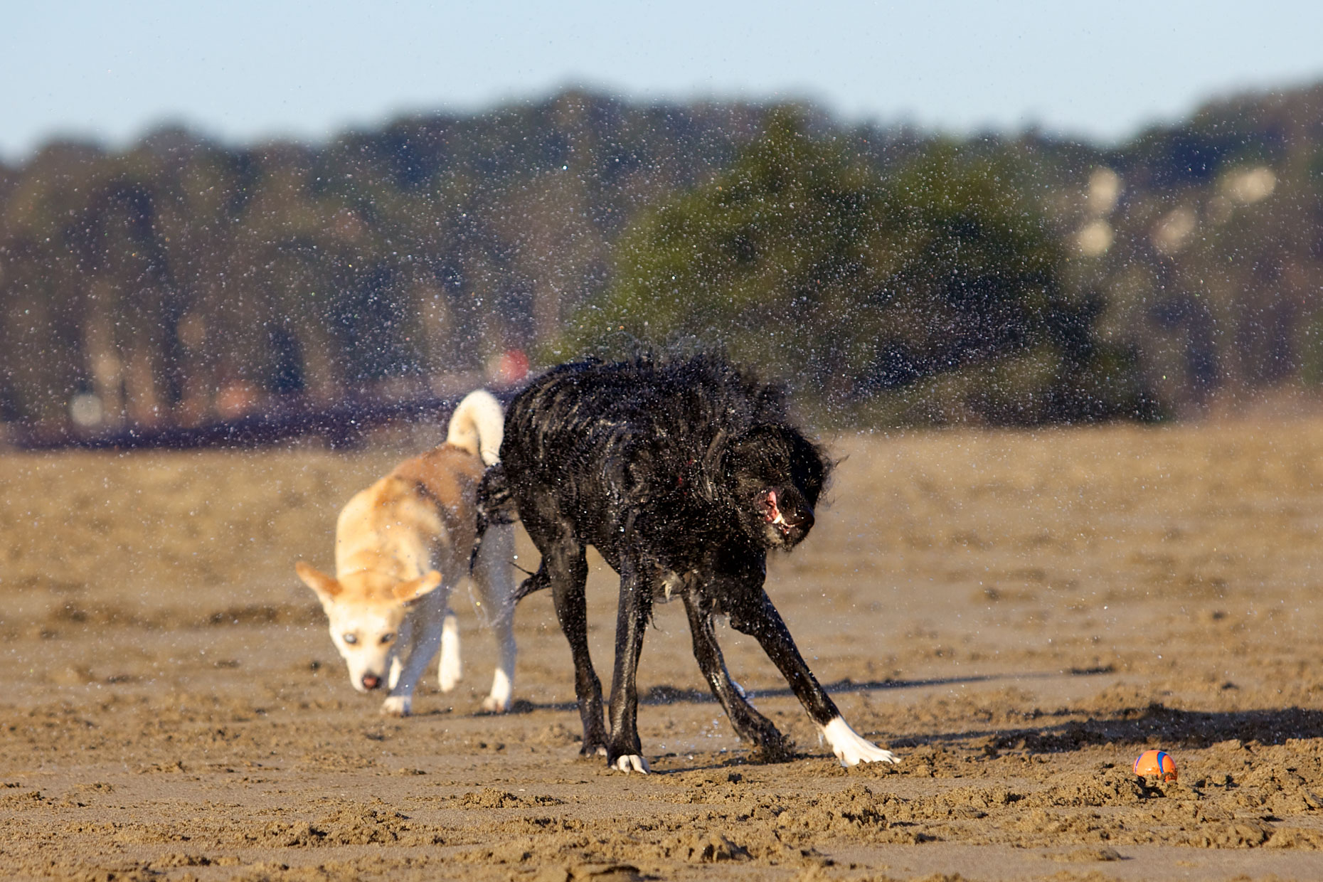 Dog Photography | Wet Dogs on the Beach by Mark Rogers