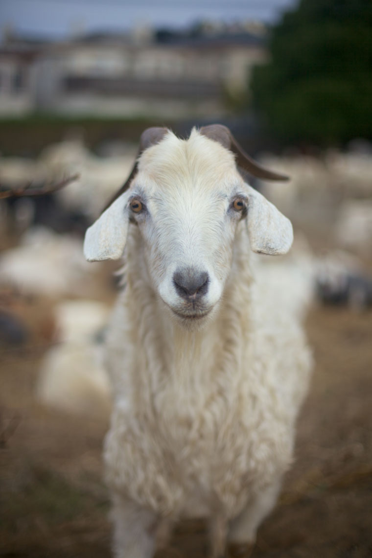 Animal Photography | White Goat by Mark Rogers