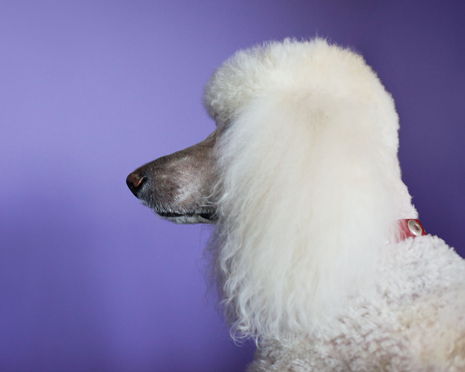 Commercial Pet Photography  |  Poodle Profile by Mark Rogers